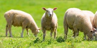 夏洛来牛羊羔 库存照片