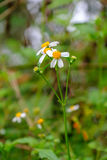 外套按钮,墨西哥雏菊, Tridax雏菊,野生雏菊在早晨 免版税库存图片