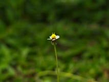 外套按钮,墨西哥雏菊, Tridax雏菊,野生雏菊 免版税库存图片