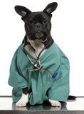 外套杂种穿戴的医生狗 免版税库存照片