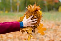 外套的美丽的妇女拿着秋叶 库存图片