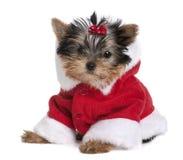 外套穿戴了小狗圣诞老人狗约克夏 免版税库存照片