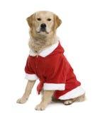 外套金毛猎犬圣诞老人 免版税库存照片