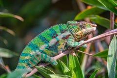 外形观点的一个五颜六色的变色蜥蜴 免版税库存照片