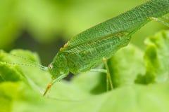 外形观点的一只绿色蚂蚱 免版税库存图片