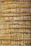 外皮棕榈树 免版税图库摄影