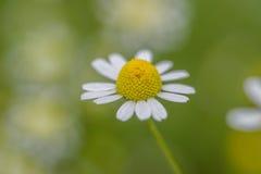 外面一朵唯一雏菊的宏观特写镜头有软的焦点背景 免版税库存图片