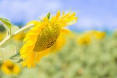 外面向日葵天空 库存图片