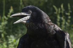 外面黑鸟 免版税图库摄影