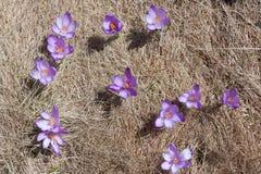 多个春天番红花在草甸 免版税库存照片