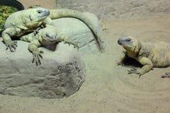 多个的蜥蜴 库存照片