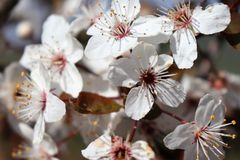 多个雄芯花蕊特写镜头在开花在春天的一束白花的 库存照片