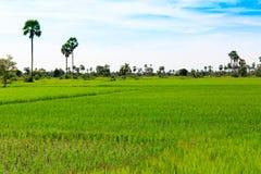 多云天空发光在雨季的绿色米领域 库存图片