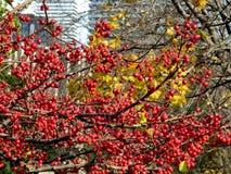 多伦多大学三一学院山楂树branchs 2016年 免版税图库摄影