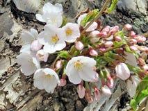 多伦多高公园樱花在树干开花2018年 库存照片