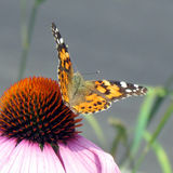 多伦多高公园美国夫人Butterfly 2014年 免版税库存图片