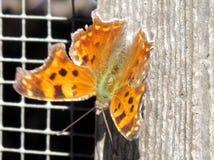 多伦多高公园Dorcas铜蝴蝶2015年 免版税库存照片