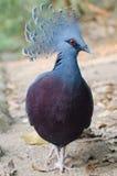 维多利亚加冠了鸽子 库存照片
