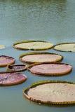 维多利亚叶子 免版税库存照片