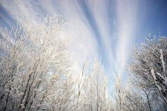 维多利亚签到天空和积雪的分支 库存图片