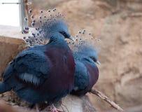 维多利亚鸽子 免版税图库摄影