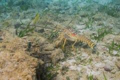 多刺加勒比的龙虾 库存图片
