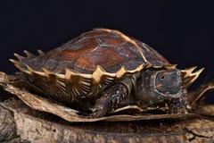 多刺的乌龟(Heosemys spinosa) 图库摄影