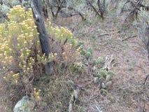 多刺的仙人掌在有鼠尾草的沙漠 免版税库存图片