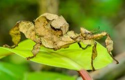 多刺的叶子昆虫 库存照片