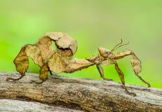 多刺的叶子昆虫 库存图片