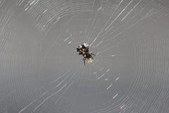 多刺的天体织布工蜘蛛 免版税库存照片