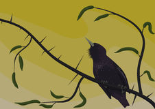 多刺的小树枝的椋鸟科 图库摄影