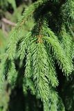 多刺的常青云杉的分支特写镜头 库存图片