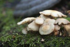 多刺的杯子蘑菇 免版税库存图片