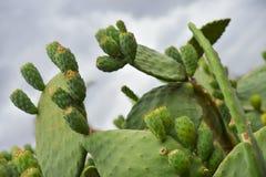多刺的梨非洲仙人掌马拉喀什,摩洛哥 图库摄影