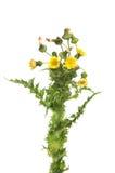 多刺的母猪蓟花和叶子 免版税图库摄影