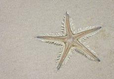 多刺的沙子星& x28; Astropecten& x29; 免版税图库摄影