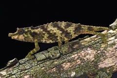 多刺的矮小变色蜥蜴(Rhampholeon acuminatus) 库存图片