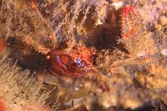 多刺的矮小龙虾 库存照片