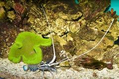 多刺的蓝色龙虾和绿色地毯银莲花属 免版税库存图片