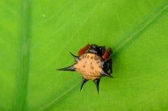 多刺的蜘蛛 库存图片