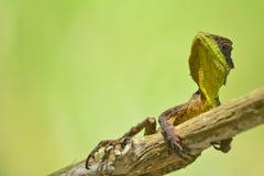 多刺的蜥蜴 免版税库存图片