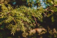 多刺的野生金合欢分支在坚硬阳光下 r 布朗绿的背景 在观察水平的射击 图库摄影
