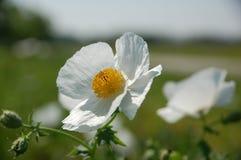多刺的鸦片(Argemone albiflora) 图库摄影