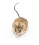 多刺的鼠标 图库摄影