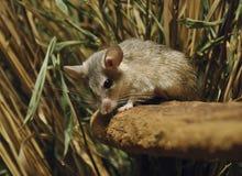 多刺的鼠标 库存照片