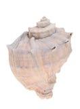 多刺的贝壳 免版税库存照片