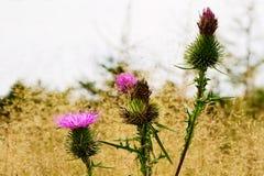 多刺的plumeless秋天草甸的蓟开花的植物 有Carduus acanthoides花的秋天草原关闭  免版税库存照片