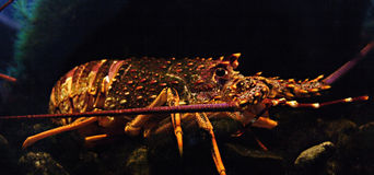 多刺龙虾的岩石 免版税库存图片
