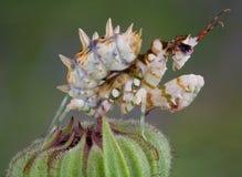 多刺7朵花的螳螂 库存图片